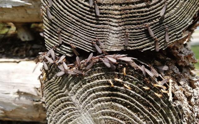 大量 発生 蟻 黒 羽 アリ